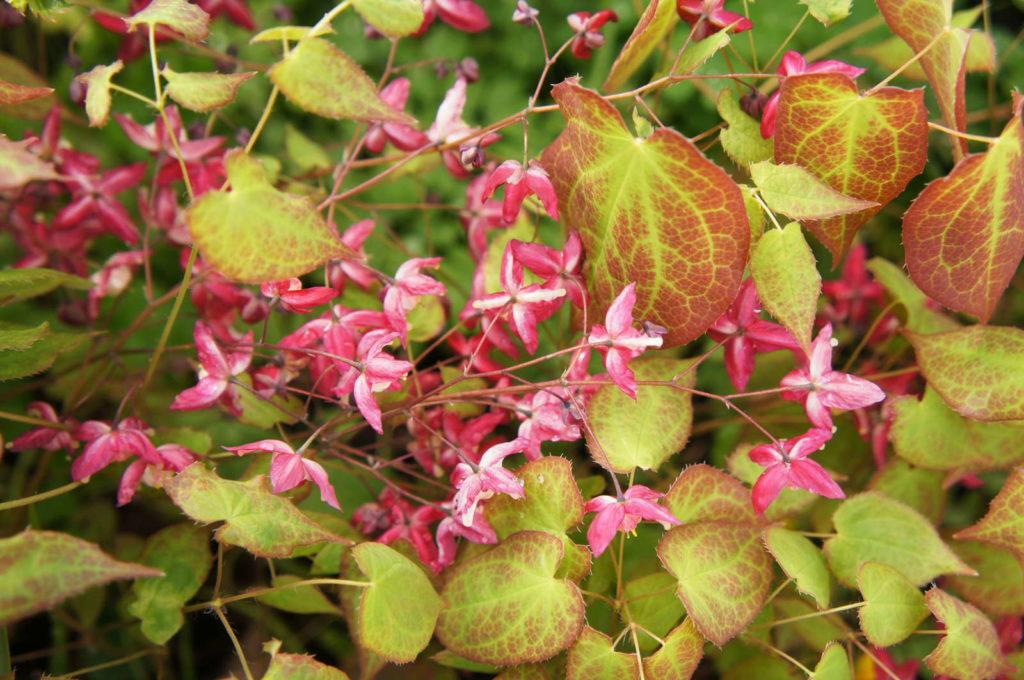 Elfenblume mit rosa Blüten