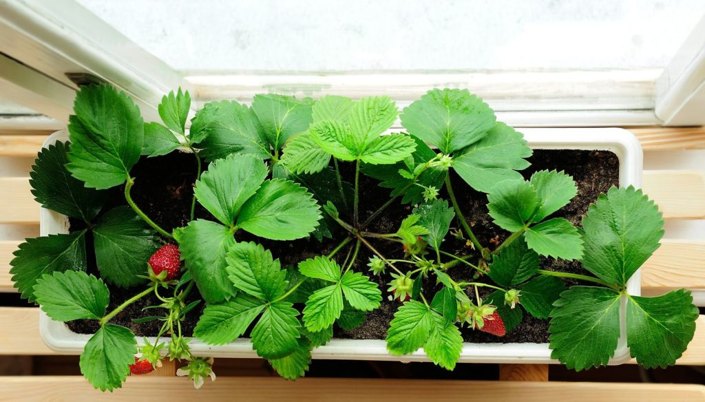 Erdbeere Balkonkasten