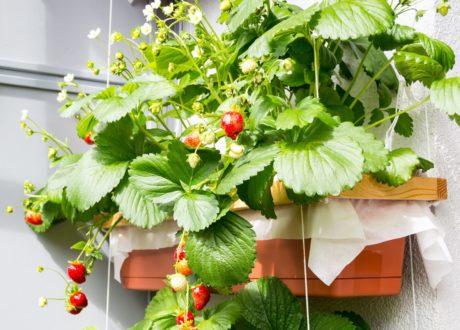 Erdbeeren Im Balkonkasten Hängend