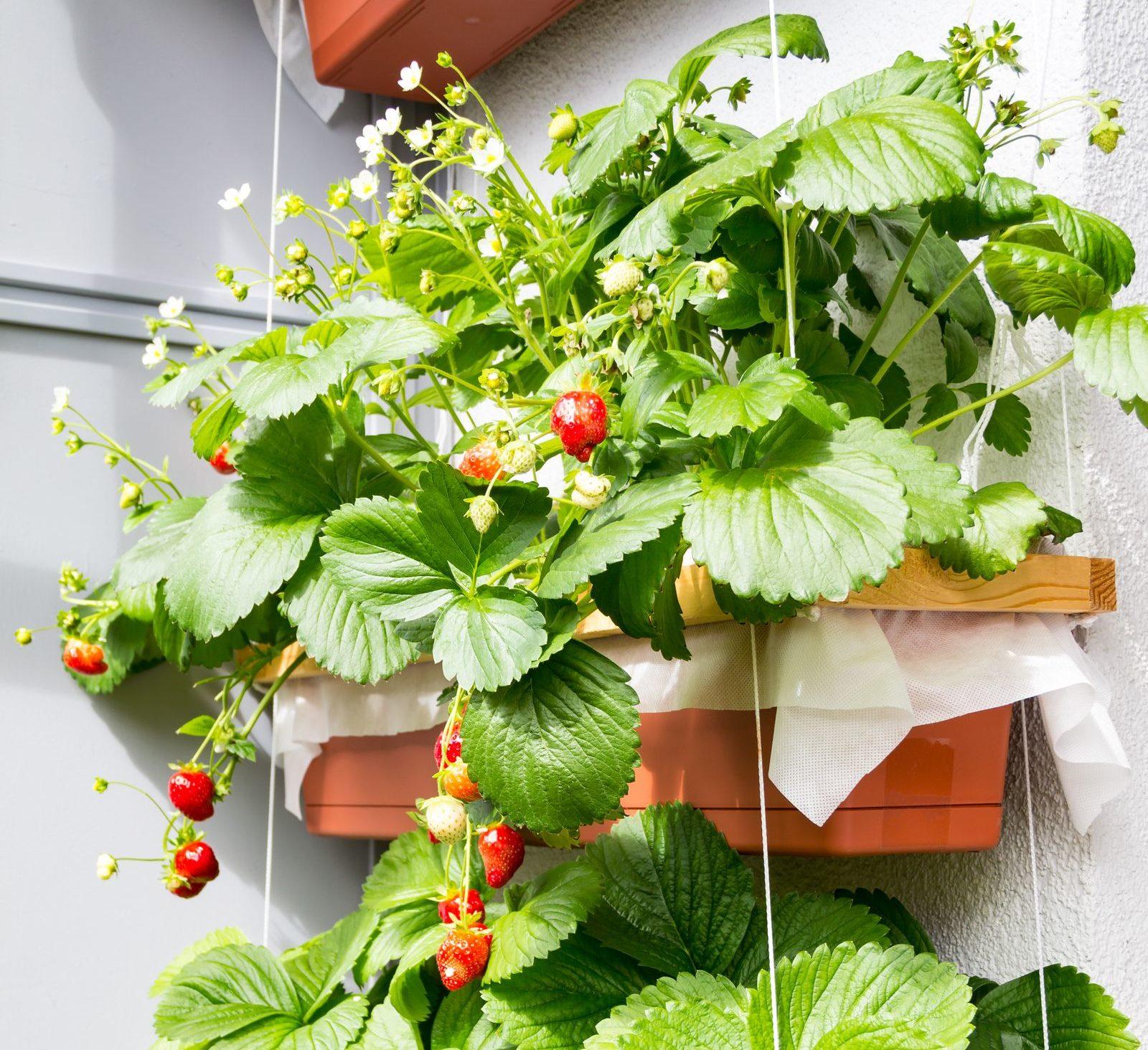 erdbeeren auf dem balkon anleitung f r das pflanzen in topf paletten plantura. Black Bedroom Furniture Sets. Home Design Ideas