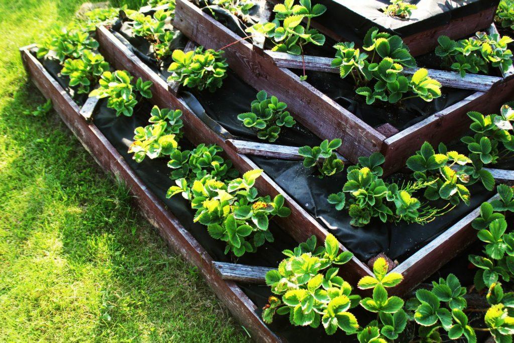 erdbeeren pflanzen standort idealer zeitpunkt plantura. Black Bedroom Furniture Sets. Home Design Ideas