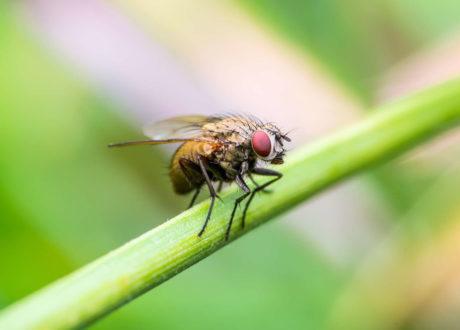 Fliege Sitzt Auf Einem Grashalm