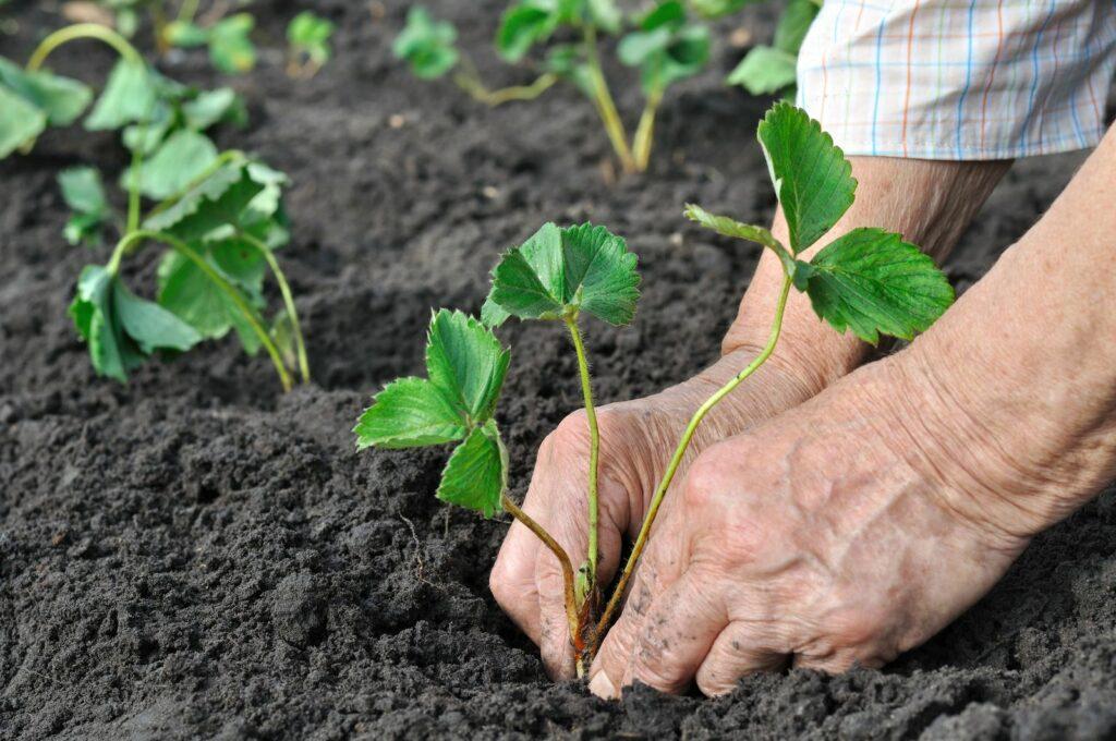 Frau pflanzt Erdbeere in frische Erde