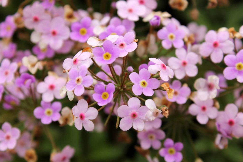 Gemeines Seifenkraut Bodendecker mit rosa Blüten im Garten
