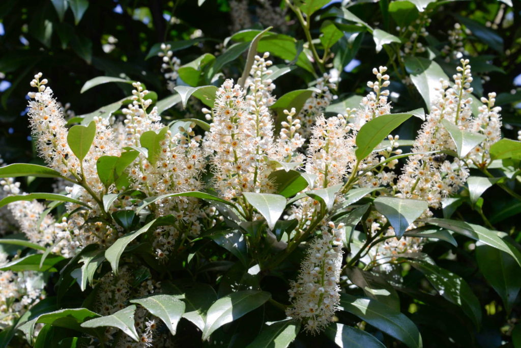 Genolia Kirschlorbeer mit geöffneten Blüten im Garten