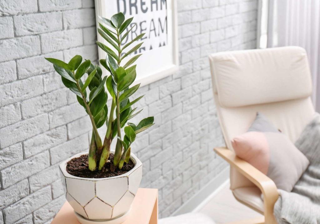 Glücksfeder Topfpflanze im Wohnzimmer