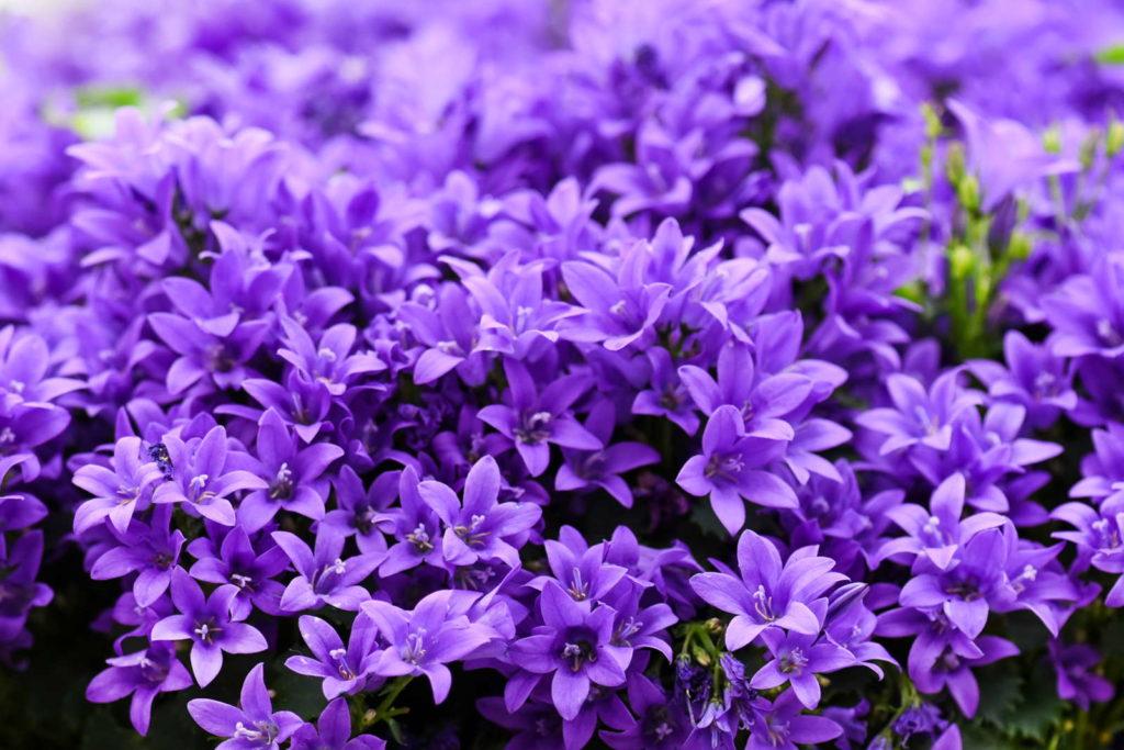 Glockenblumen mit lila Blüten