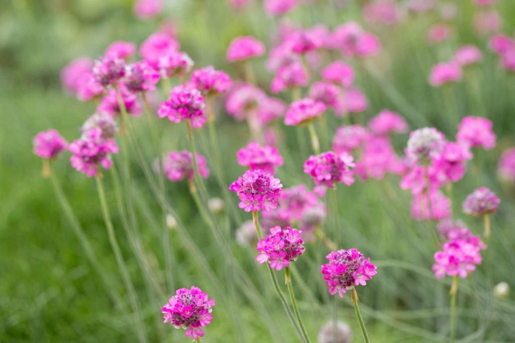 Grasnelke mit rosa Blüten