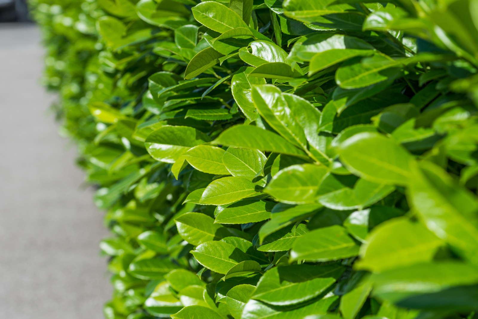 kirschlorbeer experten tipps zum pflanzen schneiden pflegen plantura. Black Bedroom Furniture Sets. Home Design Ideas