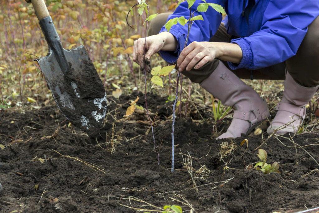 Himbeerstrauch einpflanzen