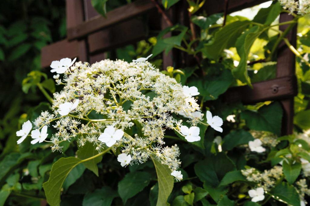 Weiße Hortensie an einem Holzzaun