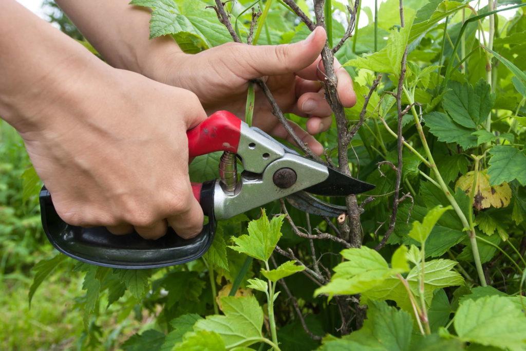 Johannisbeere wird mit roter Gartenschere geschnitten
