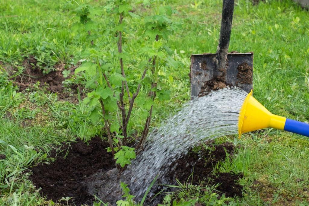 Johannisbeere wird im Garten gegossen