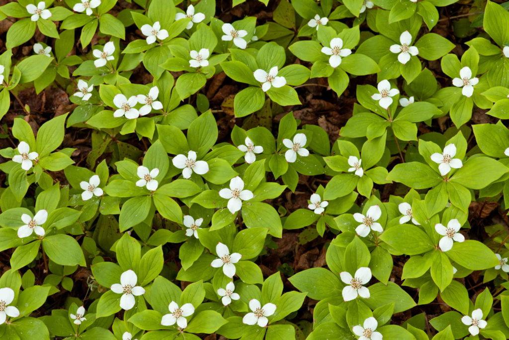 Kanadischer Hartriegel mit kleinen weißen Blüten