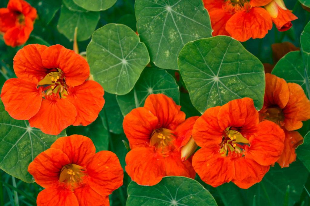 Kapuzinerkresse mit orangenen Blüten