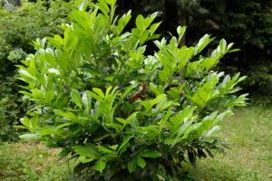 Kirschlorbeer Strauch Im Garten Auf Einem Grünen Rasen