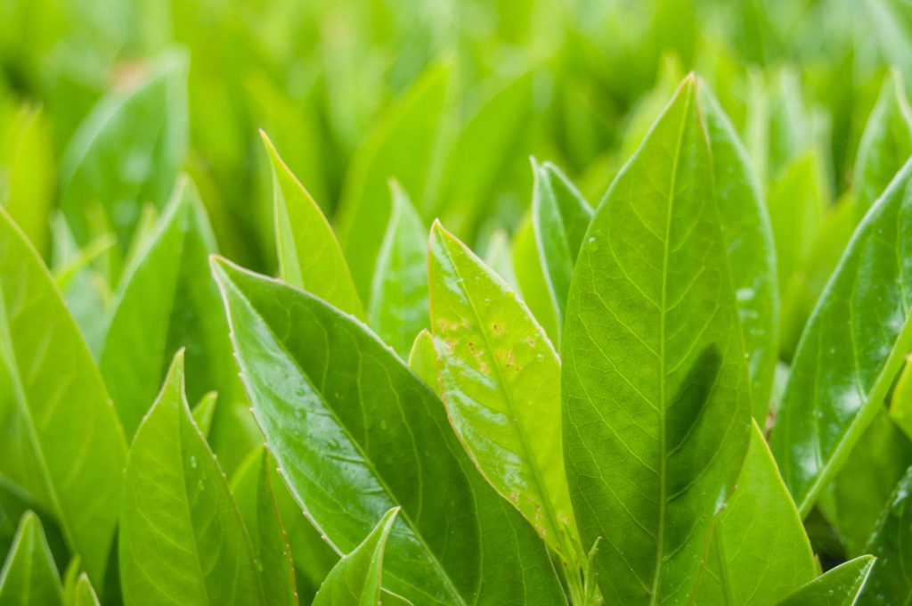 Kirschlorbeer mit strahlend grünen Blättern