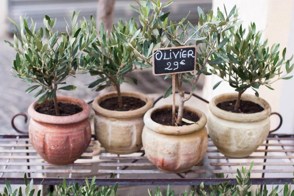 Kleine Olivenbäume in Töpfen