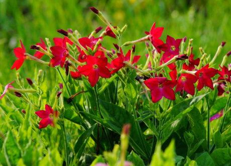 Kleine Tabaksorte Mit Roten Blüten