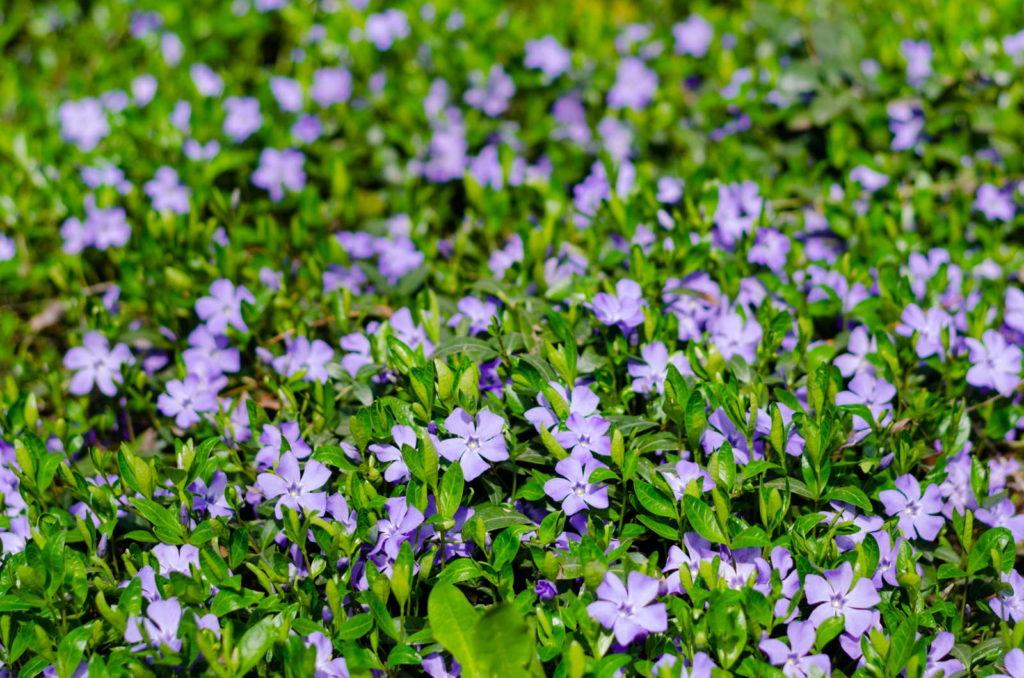 Kleines Immergrün im Garten