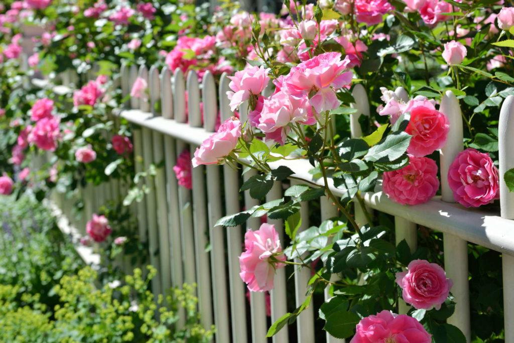 Rosa Kletter-Rosen an einem weißen Zaun