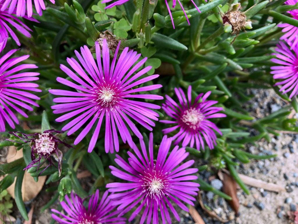 Lila Lampranthus im Garten