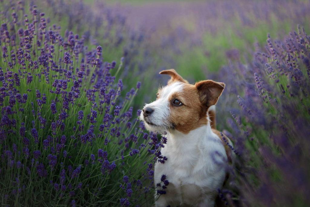 Lavendel mit Hund