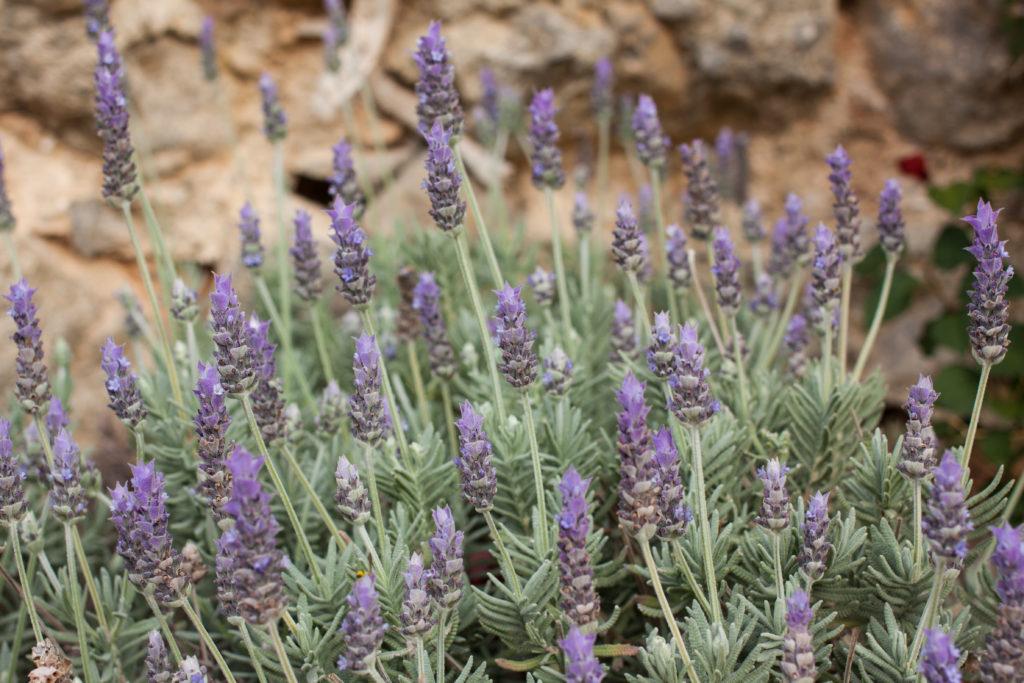 Lavendelstrauch im Beet