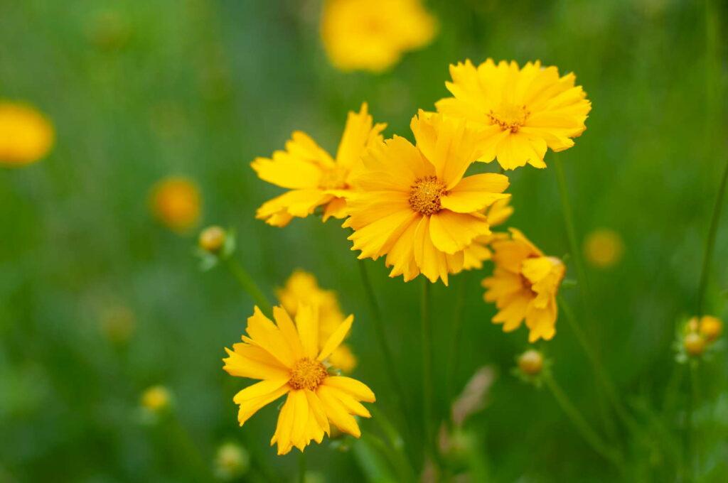 Gelbes Mädchenauge im Garten