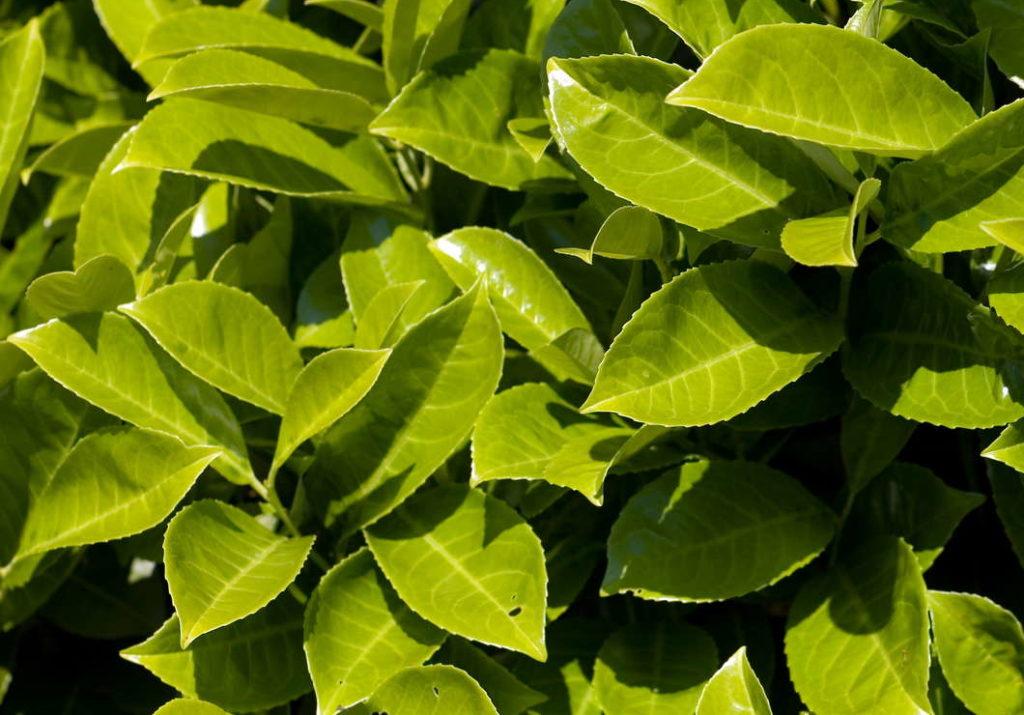 Novita Kirschlorbeer grüne Blätter im Garten