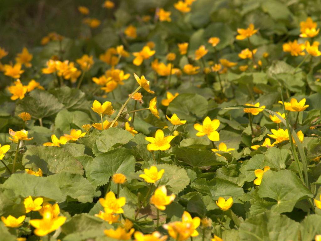 Penningkraut mit gelben Blüten