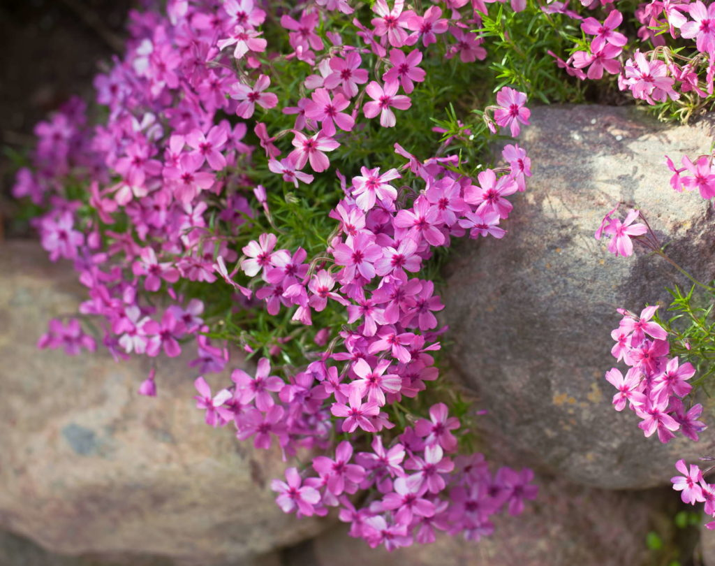 Polsterphlox mit vielen rosa Blüten