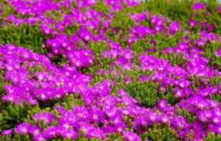Bodendecker: Die 20 Schönsten Für Eine Einfache Gartengestaltung
