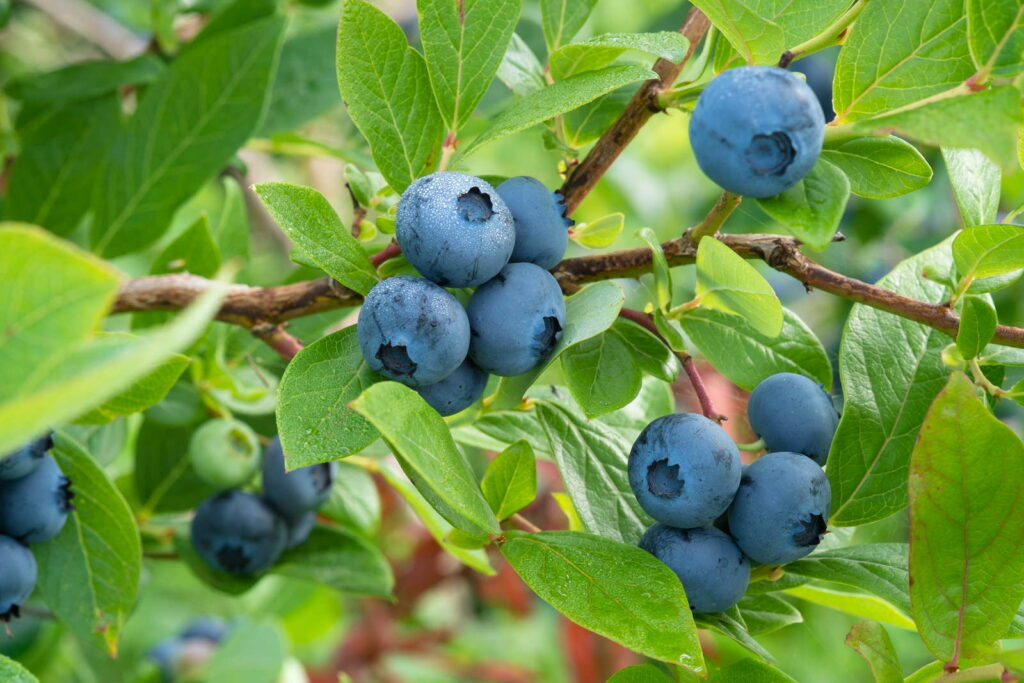 10 Tipps Fur Den Anbau Von Heidelbeeren Blaubeeren Plantura