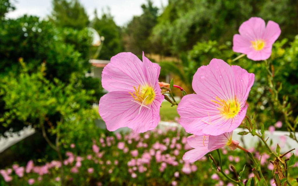Rosa Nachtkerze mit rosa Blüten im Garten