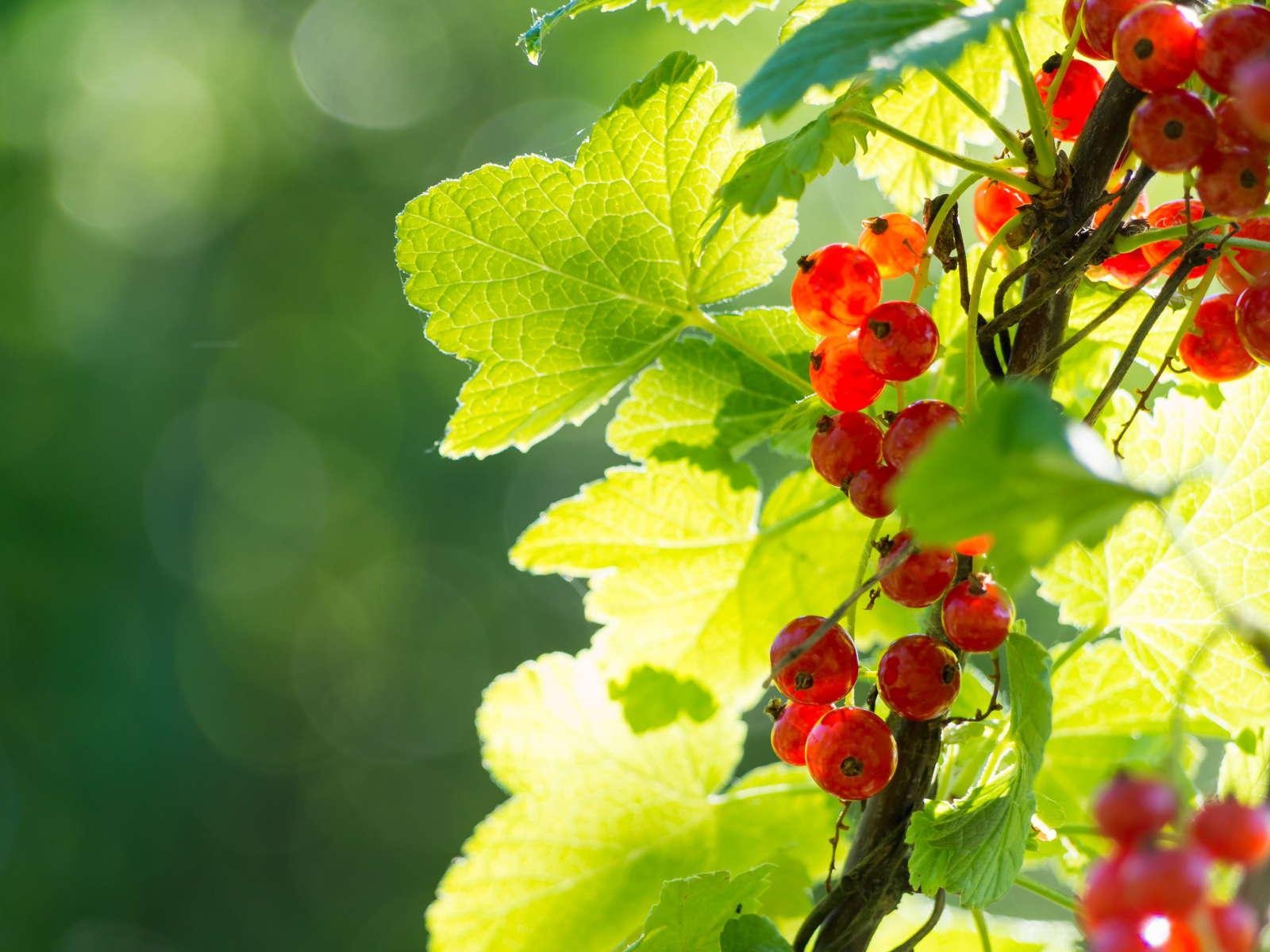 Außergewöhnlich Johannisbeeren pflanzen: Standort, Zeitpunkt & Anleitung - Plantura @MV_62