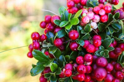 Cranberry oder Preiselbeere: Was genau ist der Unterschied?