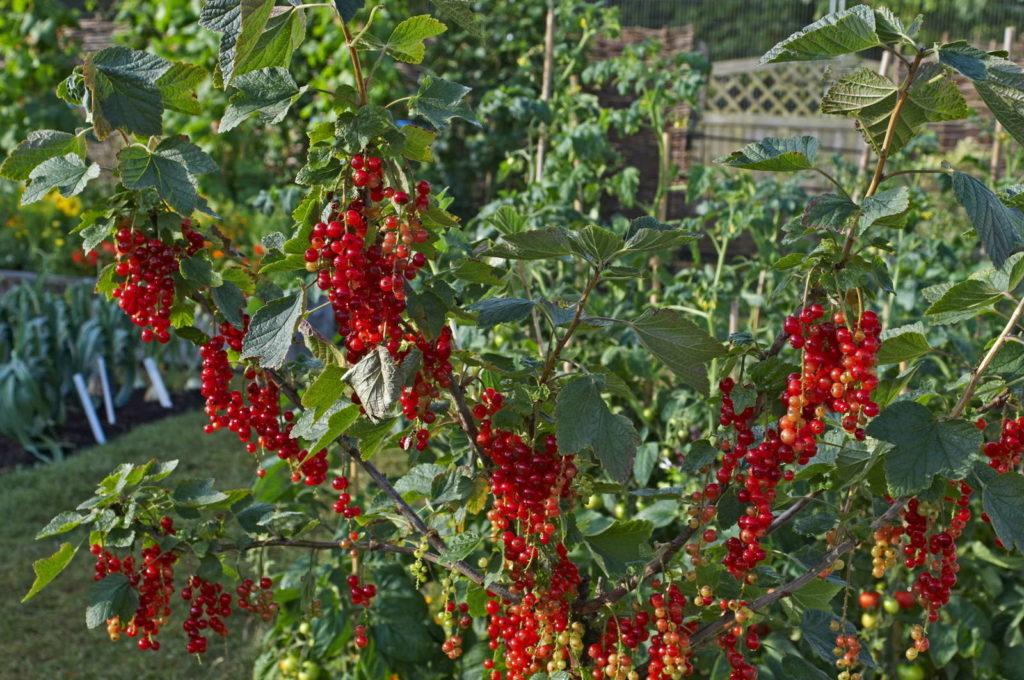 Johannisbeersorte Rovada im Garten