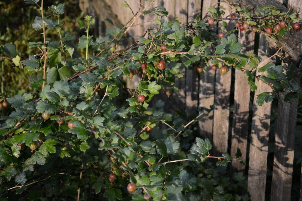 Stachelbeere an Holzwand