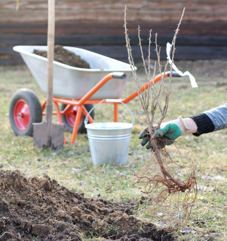 Stachelbeere beim Einpflanzen in Garten