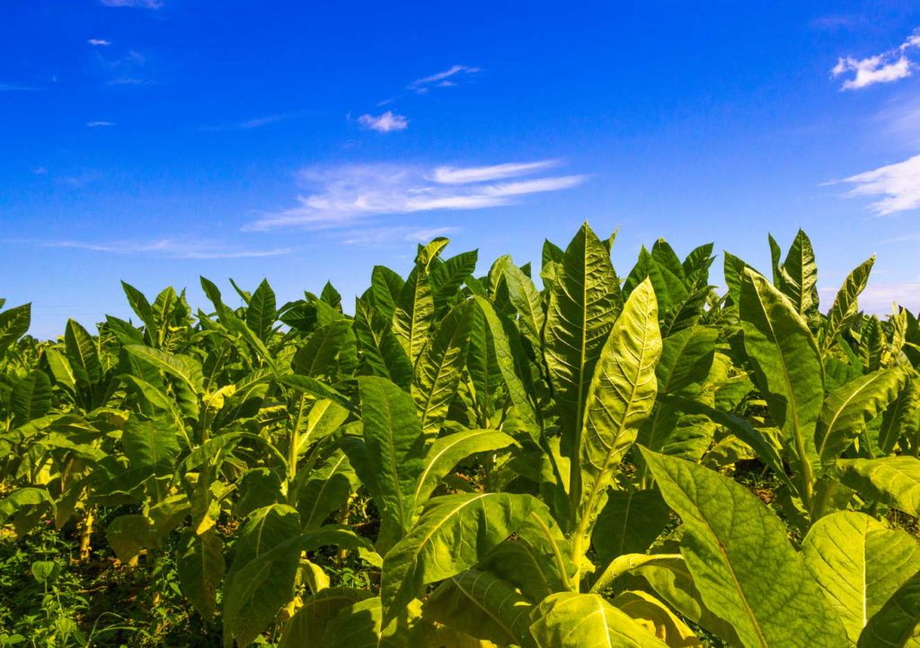 Tabak Plantage mit blauem Himmel