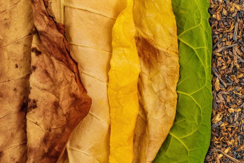 Tabakblätter werden getrocknet und färben sich