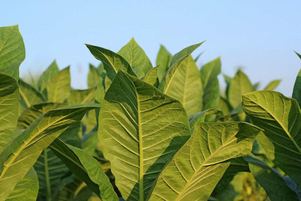 Tabakpflanze vor blauem Himmel