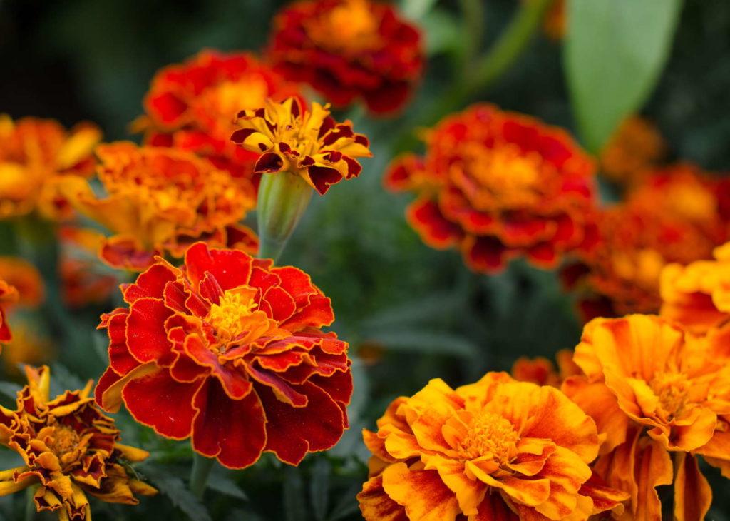 Tagetes mit Blüten in Orange und Rot