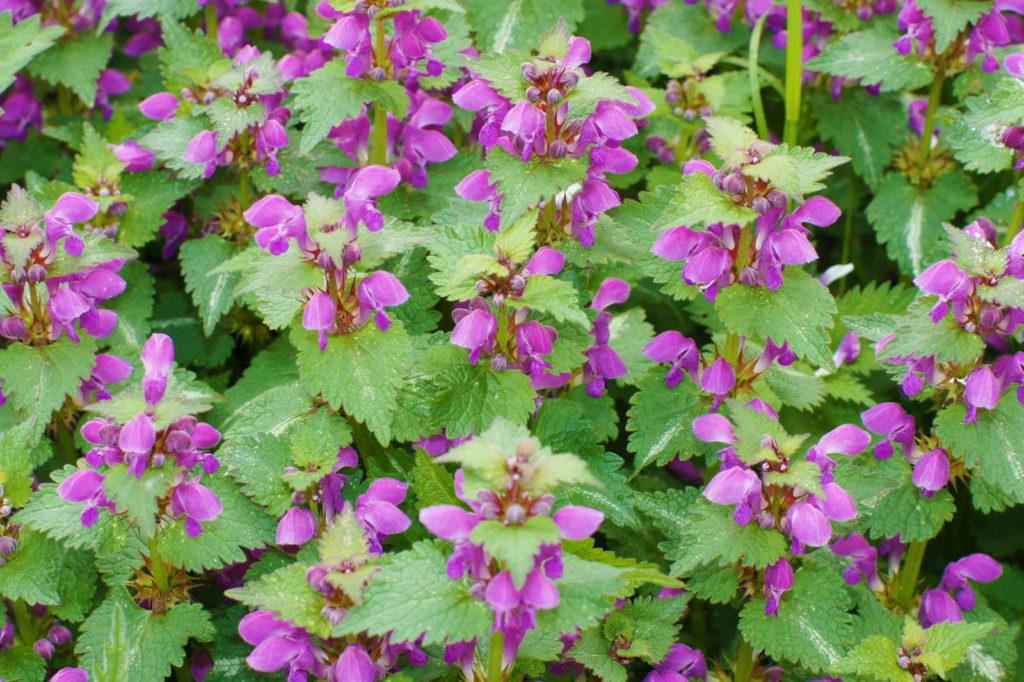 Taubnessel mit lila Blüten im Garten