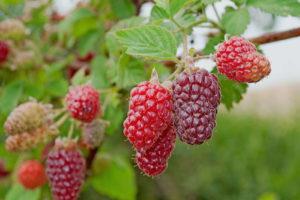 Tayberry Strauch Reife Früchte Garten
