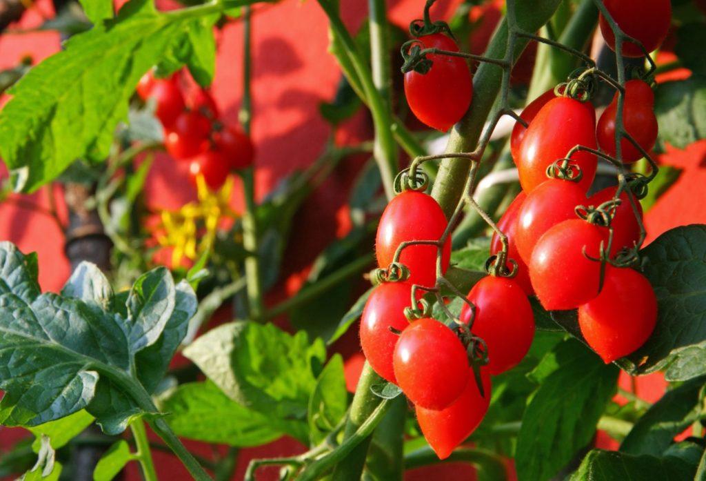 Tomaten am Strauch vor roter Wand