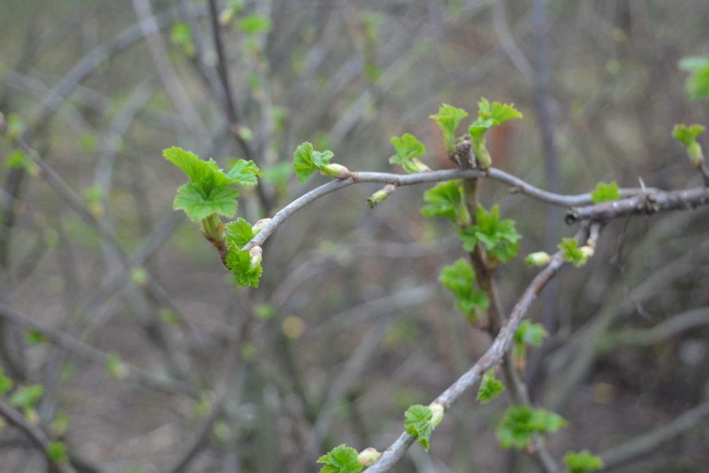 Triebe an Johannisbeerpflanze im Garten