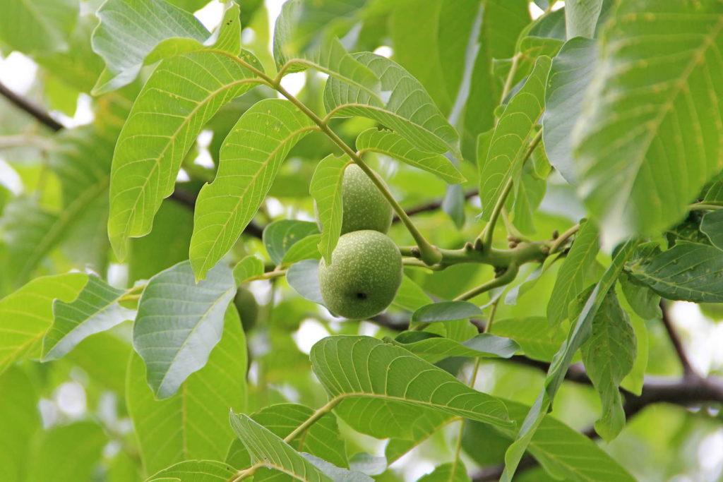 Walnussbaum im Garten