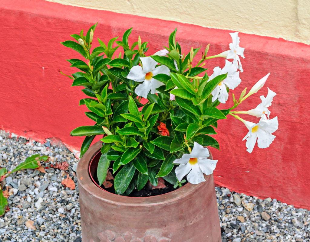 Ziertabak im Topf mit weißen Blüten